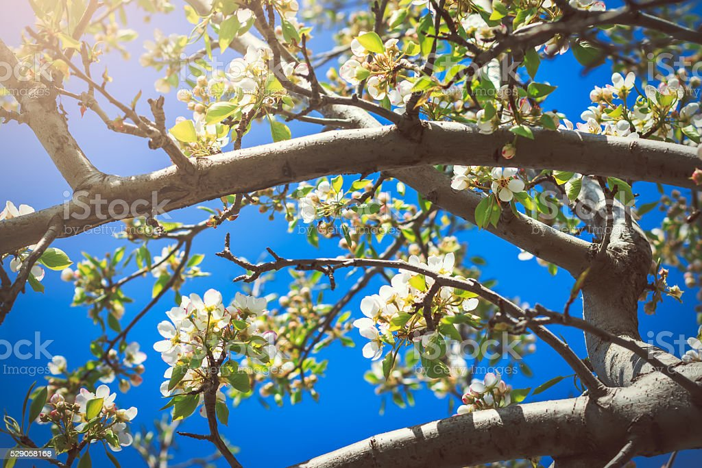 Blooming pear tree with flowers on branches against clear sky stock photo
