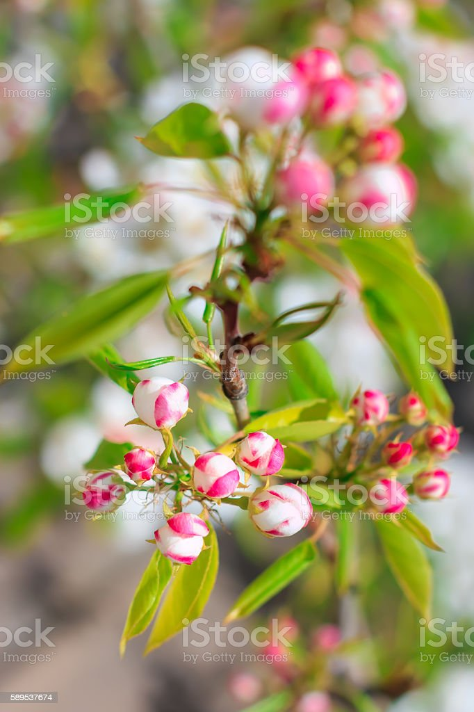 Blooming pear tree with flowers on branches closeup, blurry background stock photo