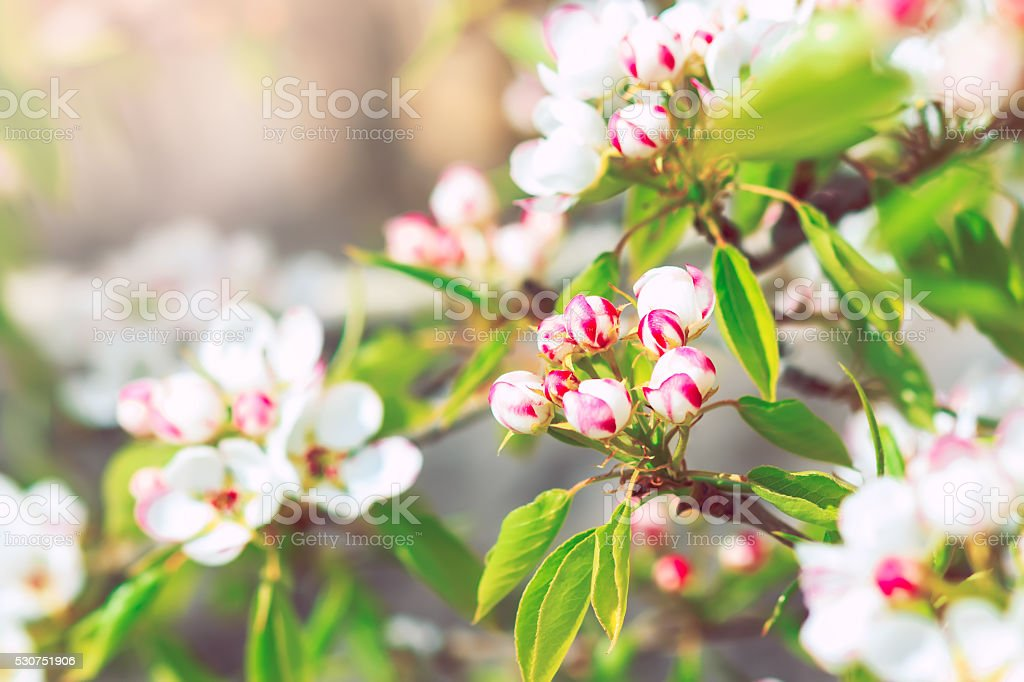 Blooming pear tree with flowers on branches closeup stock photo