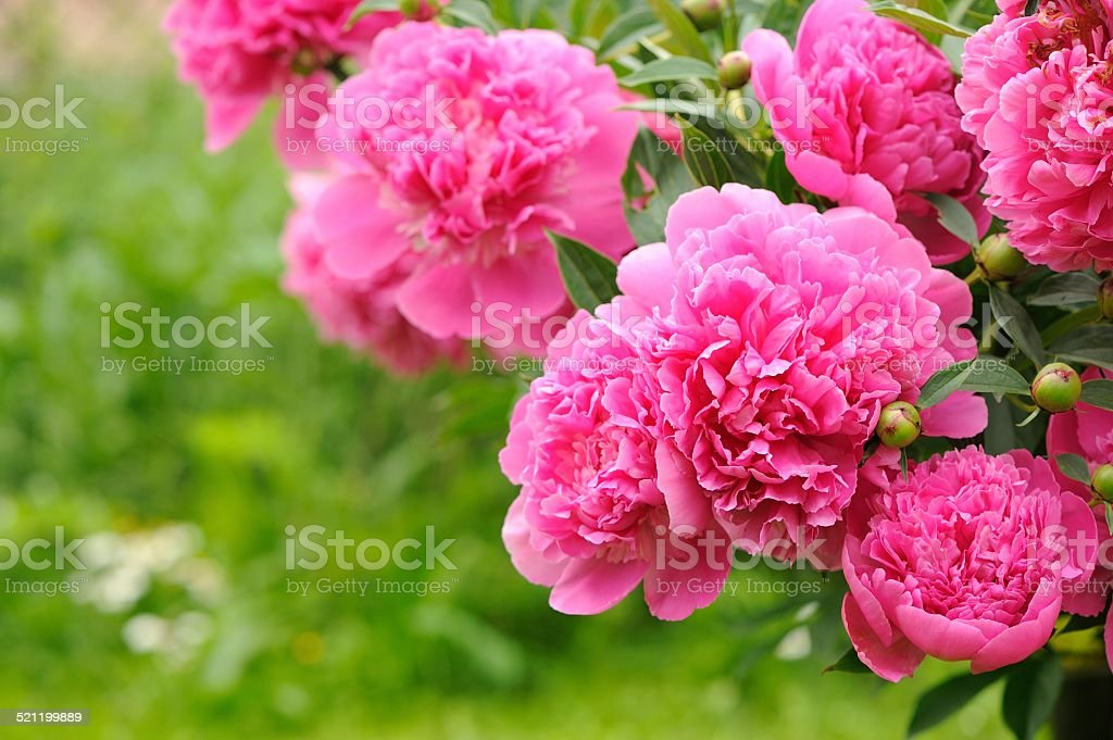 Blooming Peony Bush with Pink Flowers in the Garden stock photo