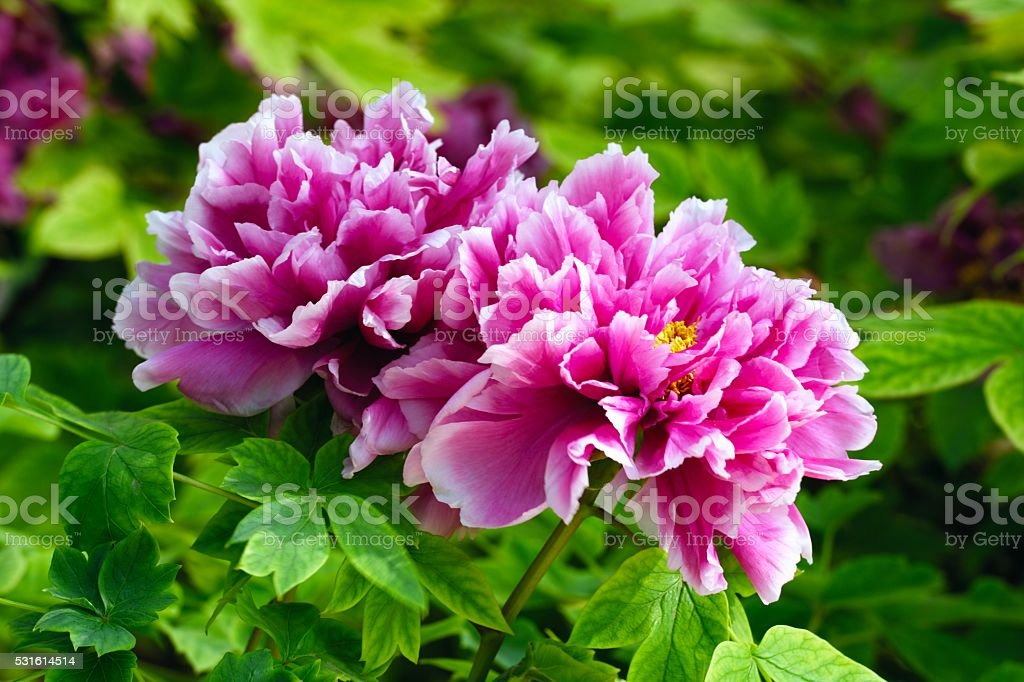Blooming peony flowers in China's luoyang city 018 stock photo
