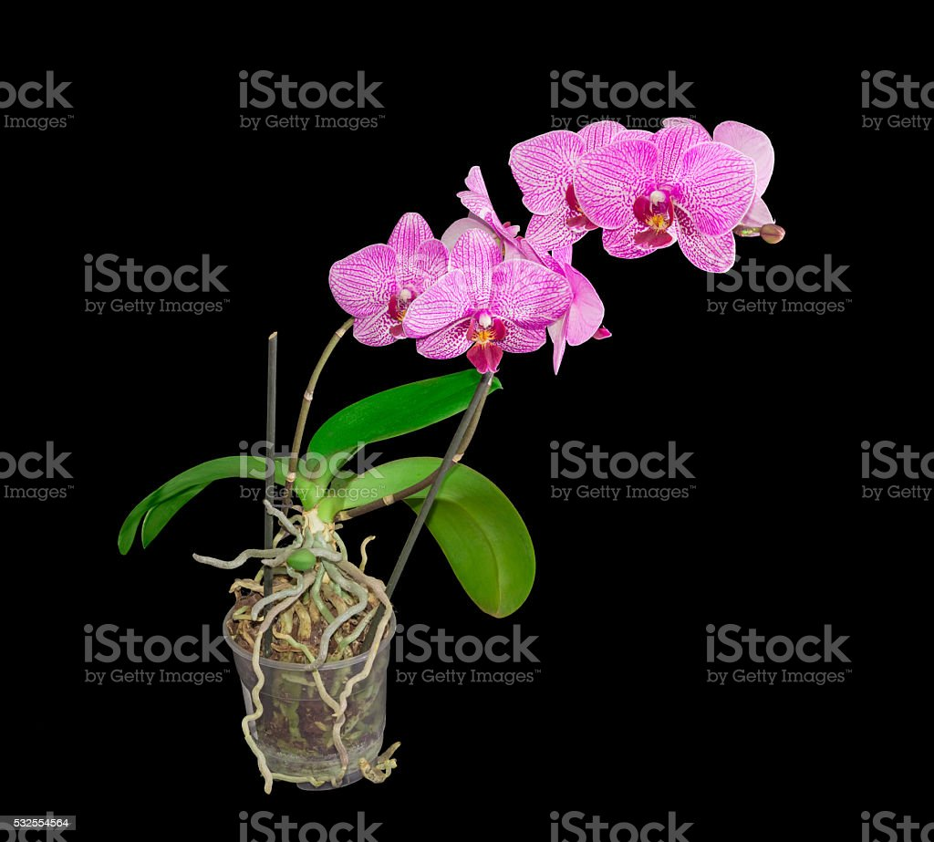 Blooming phalaenopsis orchid in a flower pot on dark background stock photo