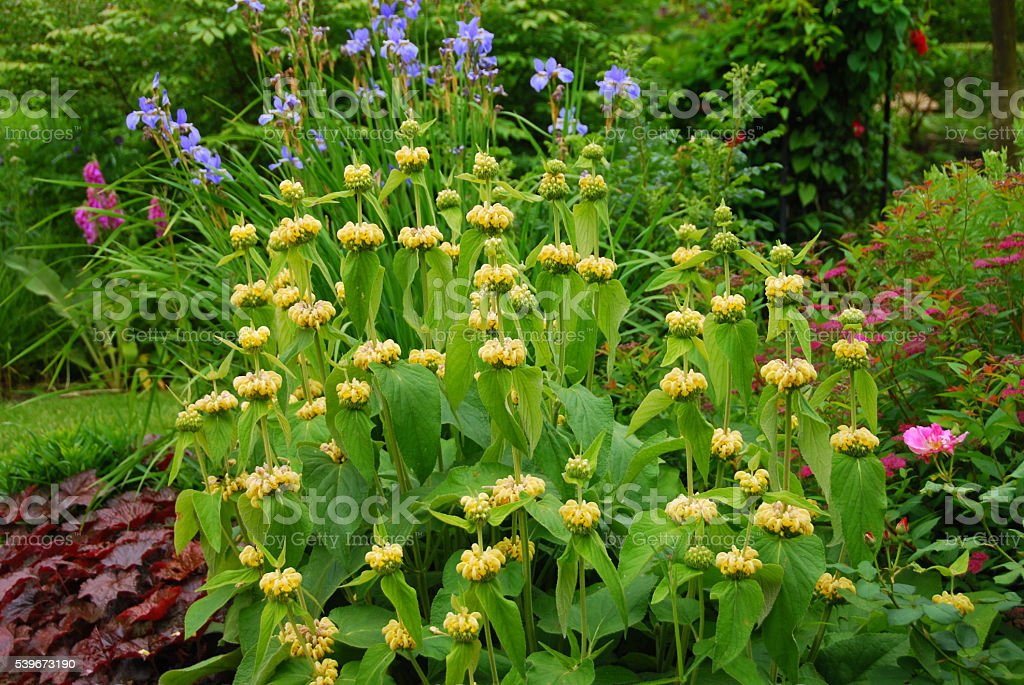 Blooming Phlomis standing in an ornamental garden. stock photo