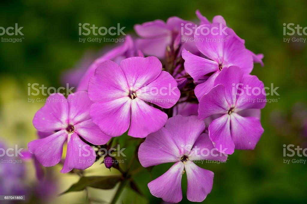 Blooming Phlox paniculata, Polemoniaceae stock photo