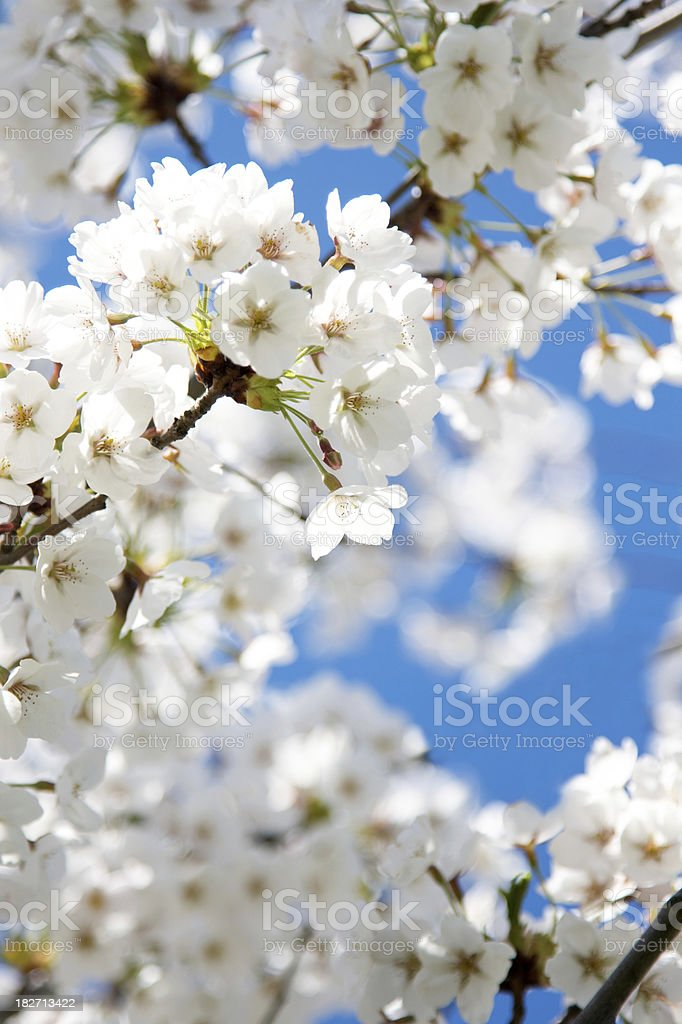 blooming royalty-free stock photo