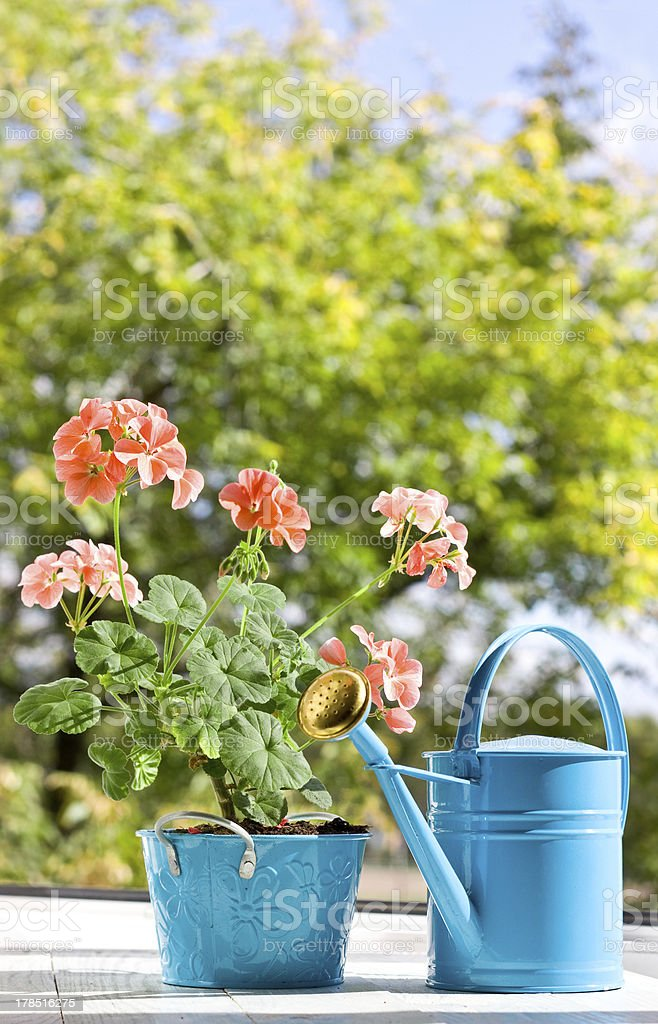Blooming pink geraniums in blue pot and watering can stock photo