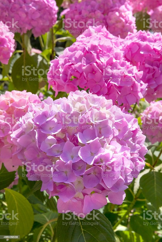 Blooming pink Hortensia on sunny day stock photo