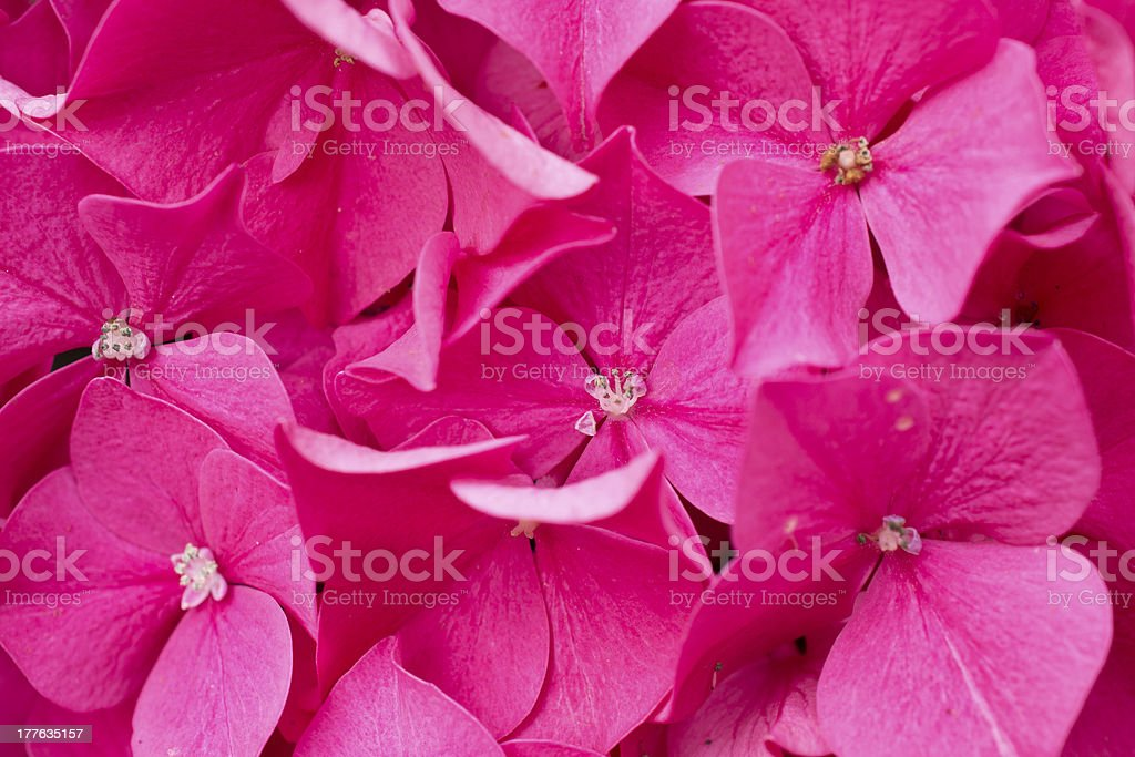 Blooming pink Hydrangea. royalty-free stock photo
