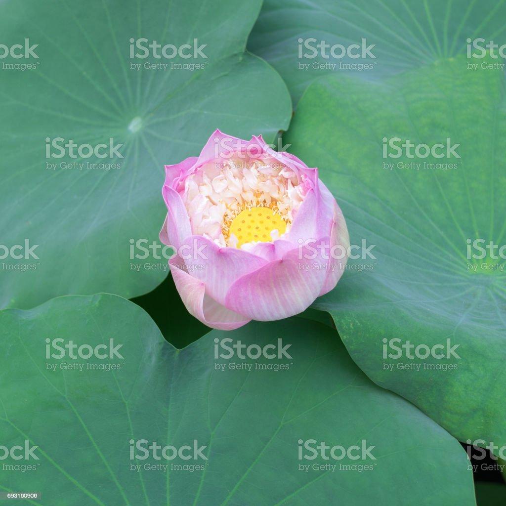 Blooming pink lotus flower stock photo