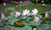 Blooming Pink Lotuses