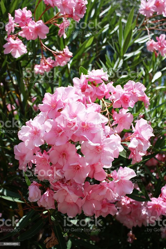 Blooming pink nerium oleander, Italy stock photo