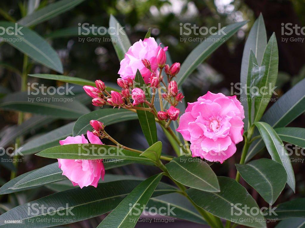Blooming pink nerium oleander, stock photo