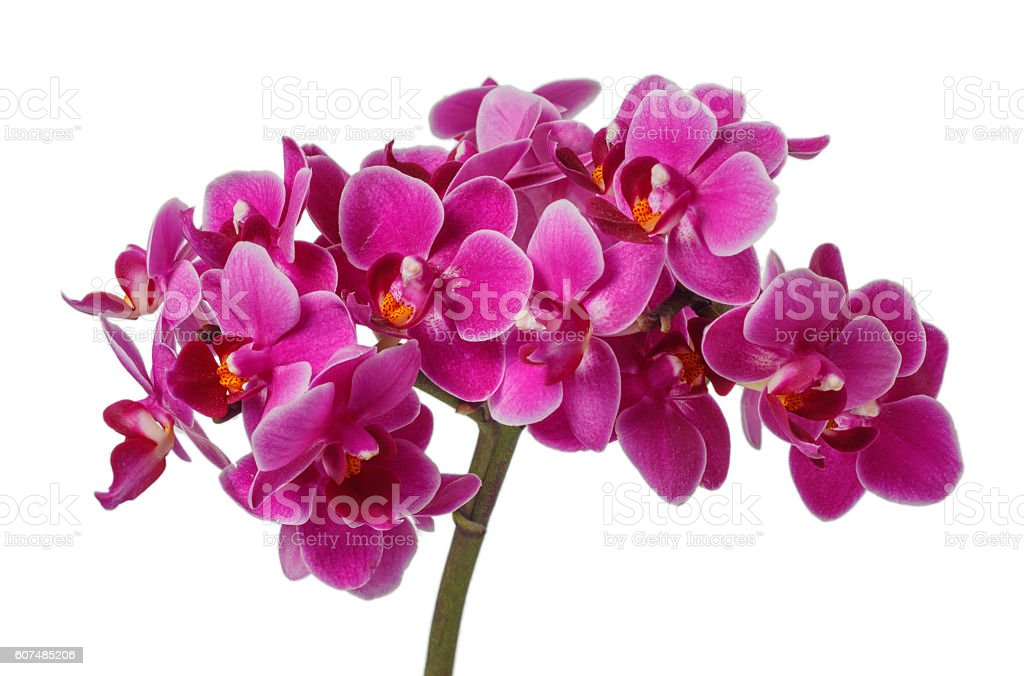 Blooming pink orchid with many flowers on a white background stock photo
