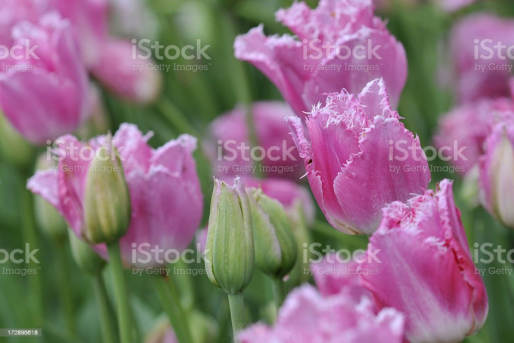 Blooming Pink Parrot Tulips stock photo
