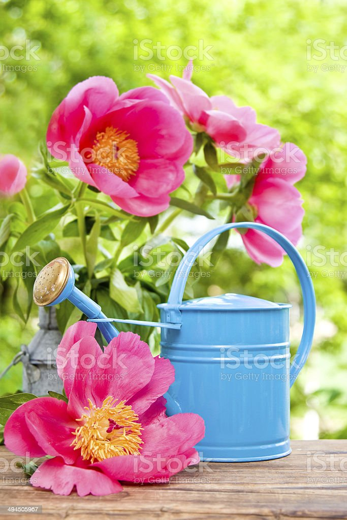 blooming pink peonies and water can royalty-free stock photo