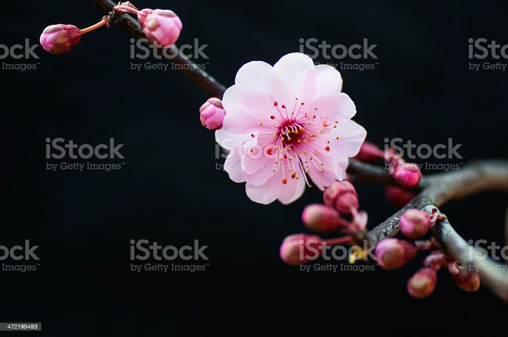 Blooming pink plum blossom stock photo