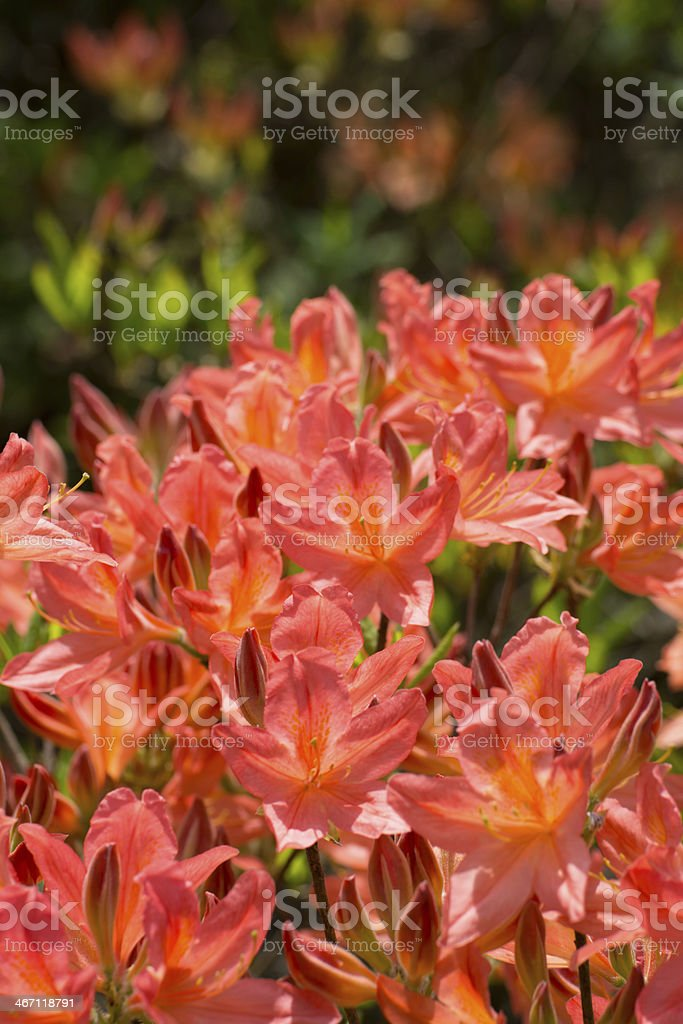 Blooming Pink Rhododendron - XXXL royalty-free stock photo