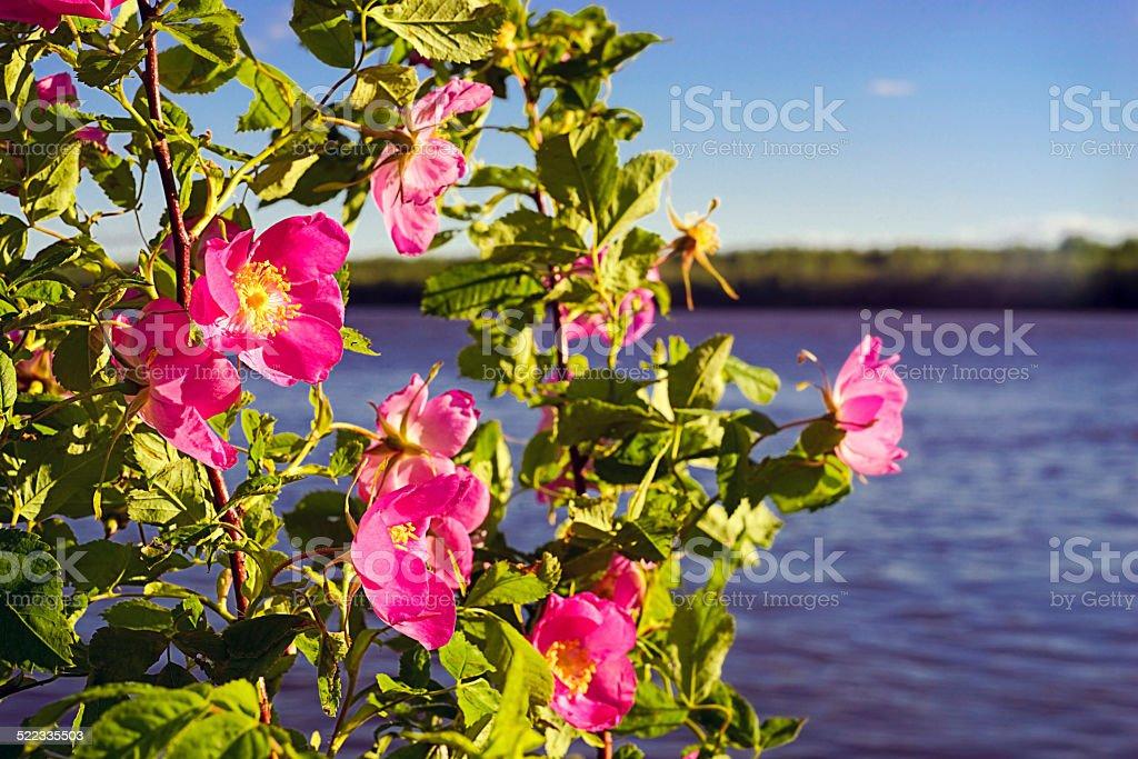 Blooming pink rose. stock photo