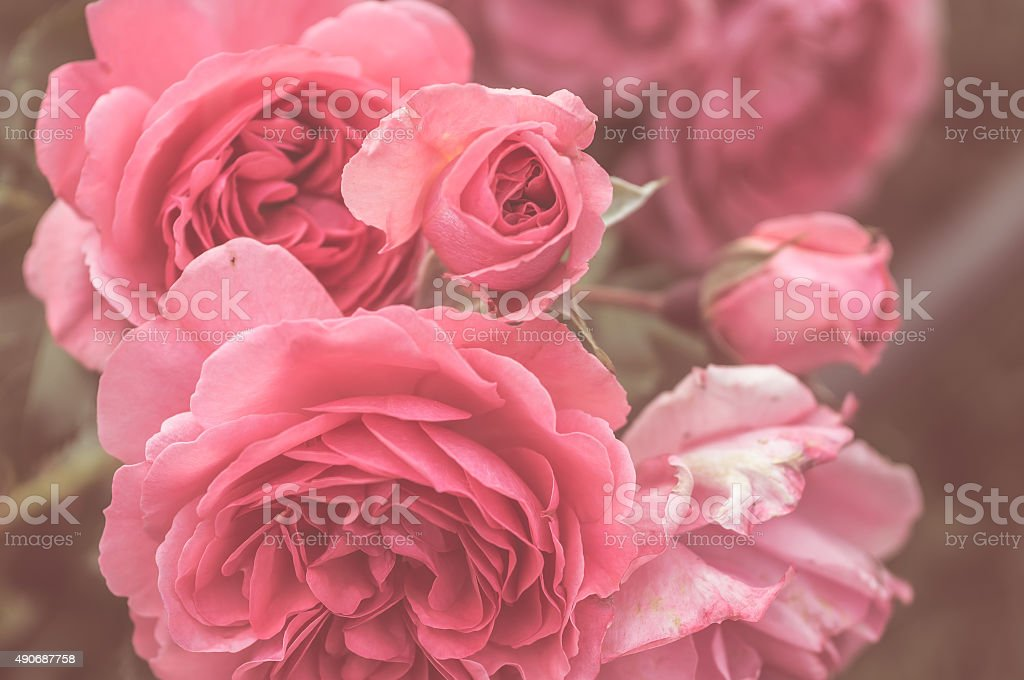 blooming pink roses stock photo
