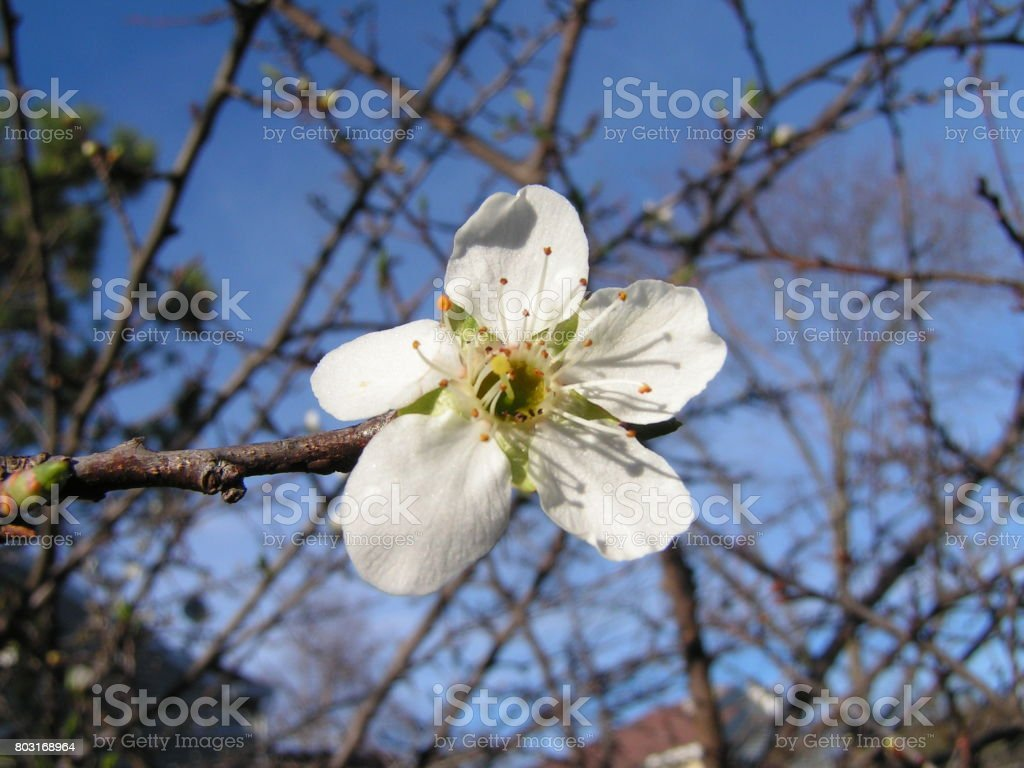 Blooming Plum Flower stock photo