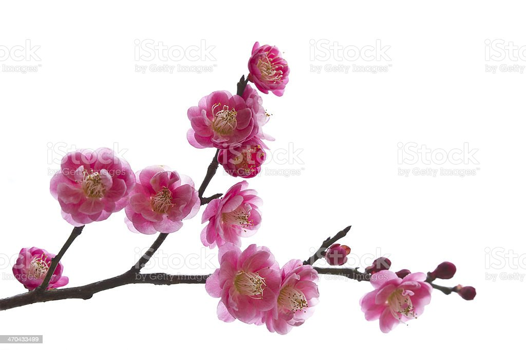 Blooming plum in spring. stock photo