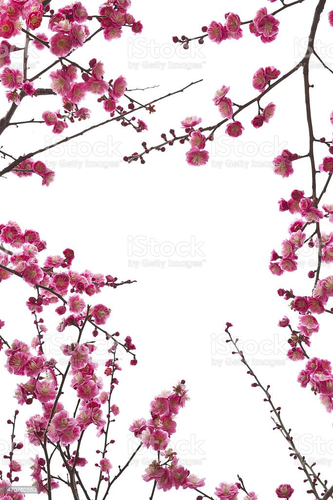 Blooming plum in spring . stock photo