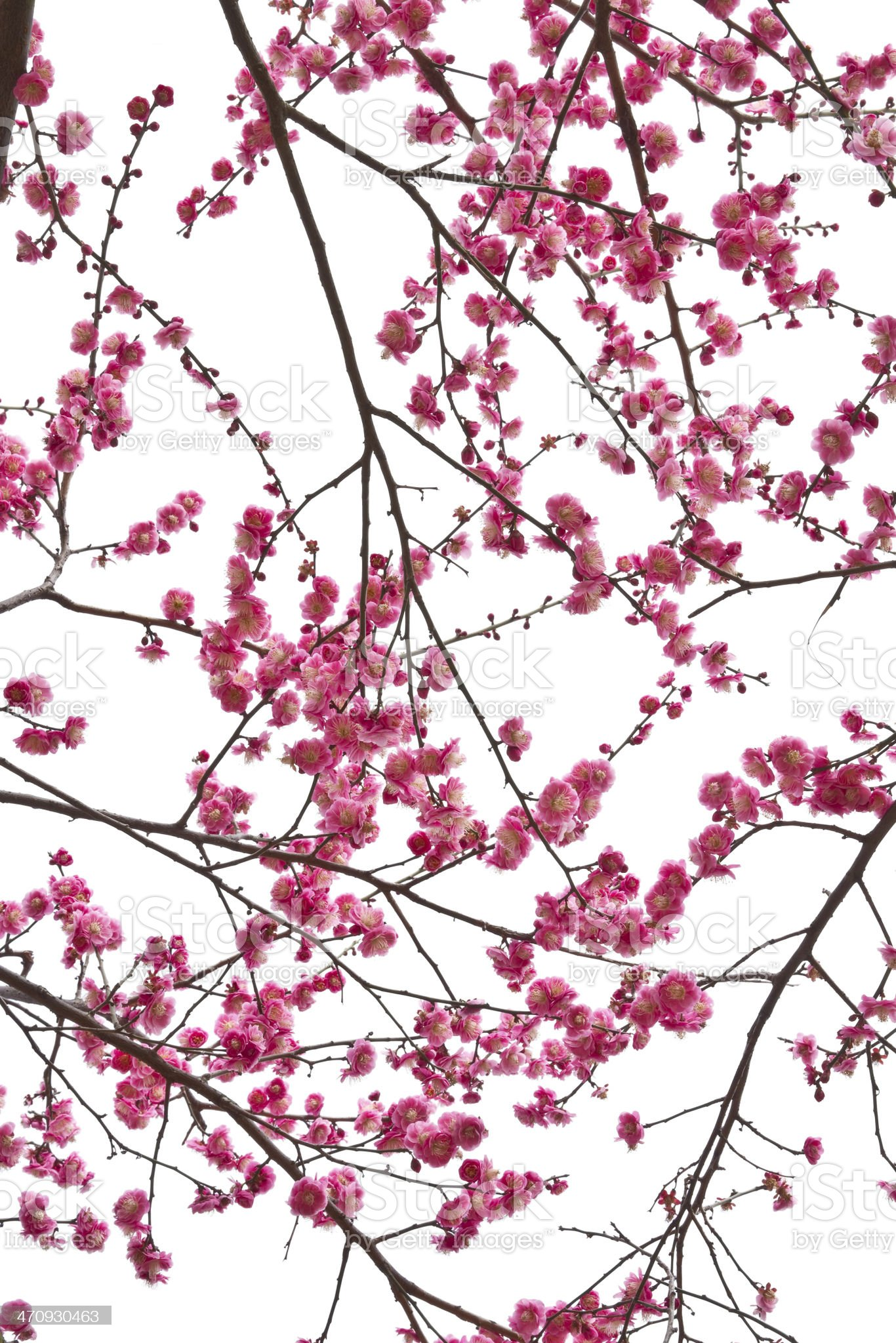 Blooming plum in spring . royalty-free stock photo