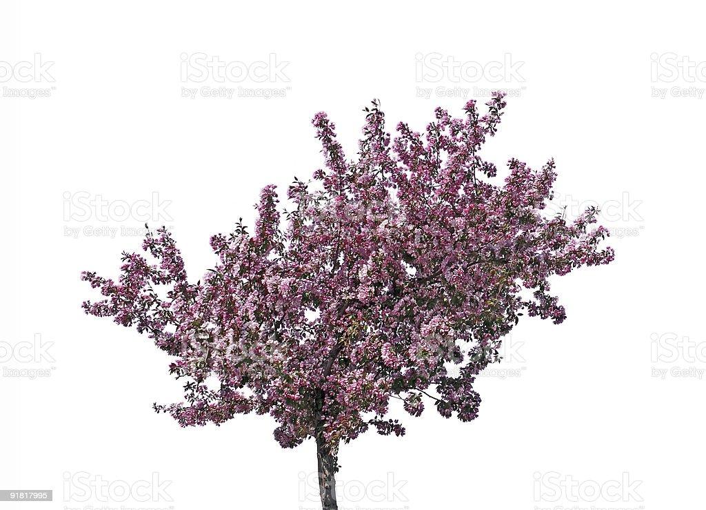 Blooming plum tree, isolated stock photo