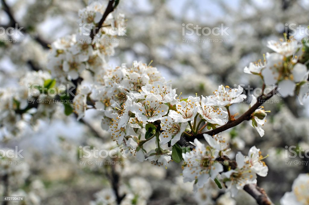 blooming plum tree stock photo
