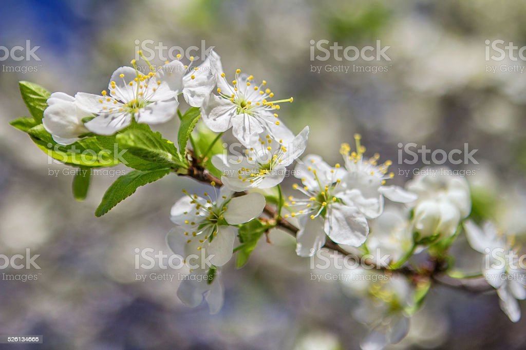 Blooming plum tree, plum-tree branch covered with white flowers stock photo