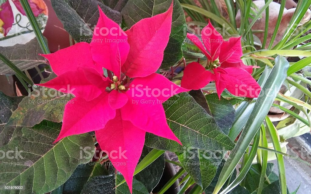 Blooming Poinsettias stock photo