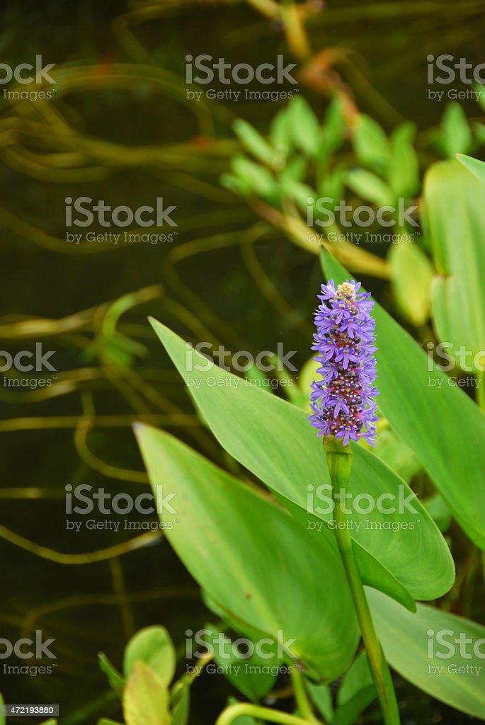 Blooming Pontederia cordata stock photo