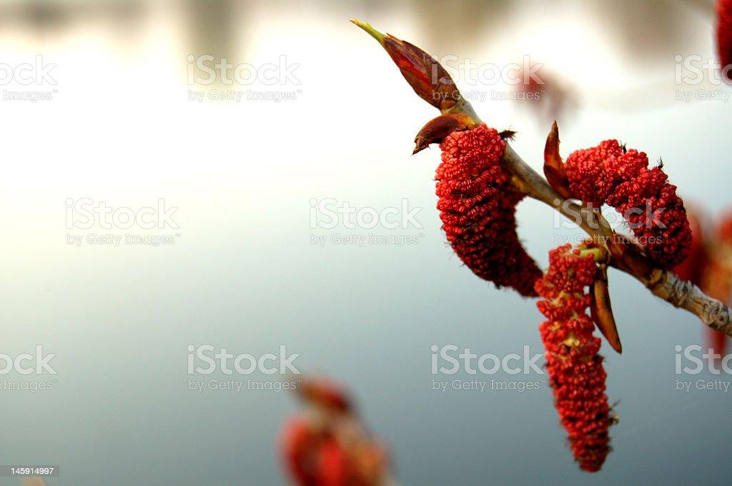 Blooming poplar royalty-free stock photo