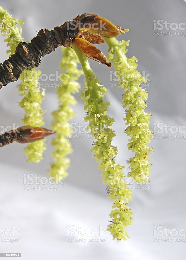 blooming poplar tree close-up royalty-free stock photo