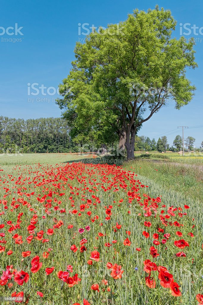 Blooming Poppy field and blue sky in Mecklenburg-Vorpommern, Germany stock photo