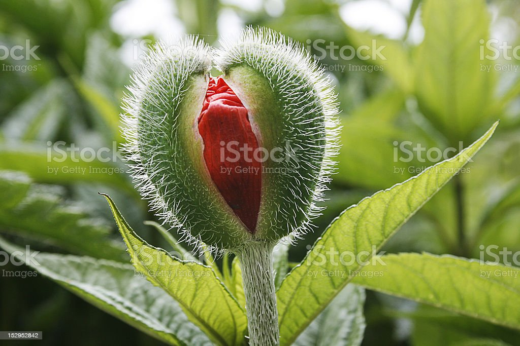 Blooming poppy stock photo