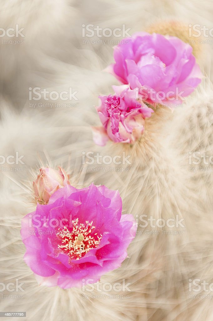 Blooming Prickly Pear Cactus royalty-free stock photo