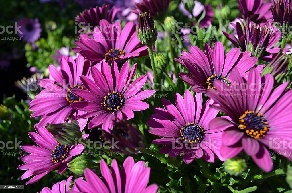 blooming purple African daisy stock photo