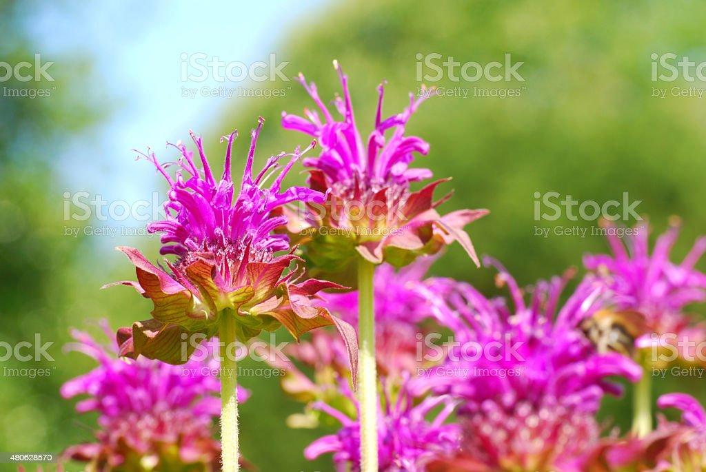 Blooming purple Bergamot flowers stock photo