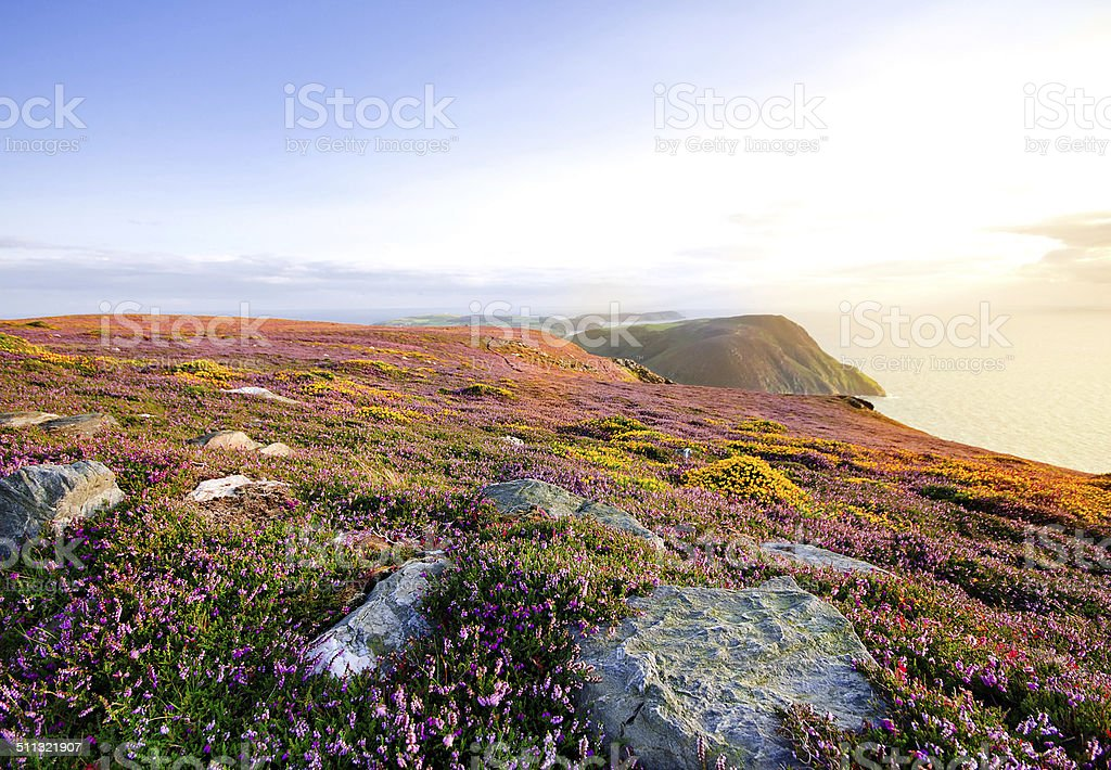 Blooming Purple Heather, Cliffs and Sea. Isle of Man stock photo