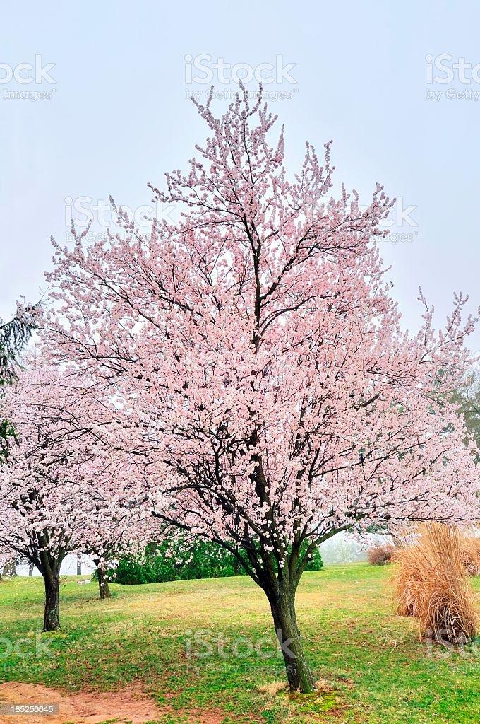 Blooming Purple Leaf Plum Tree stock photo