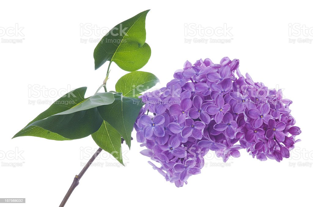 Blooming purple lilac flower on white royalty-free stock photo