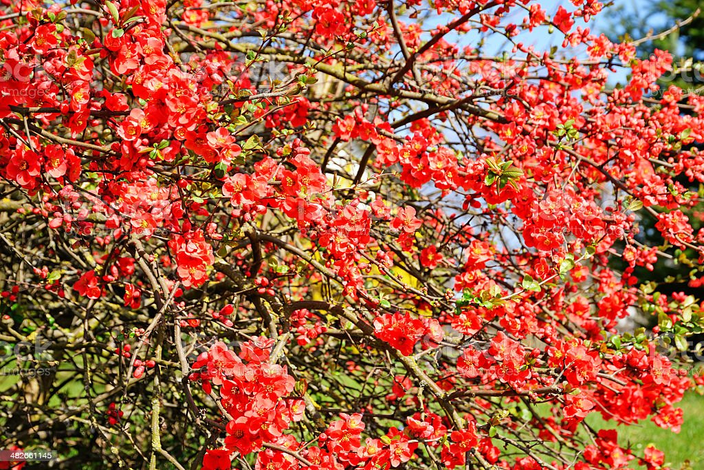 Blooming quince bush in spring stock photo