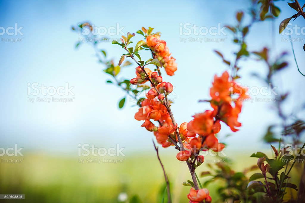 Blooming quince bush stock photo