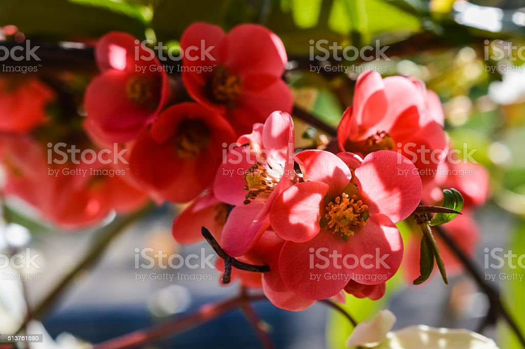 blooming quince flowers stock photo