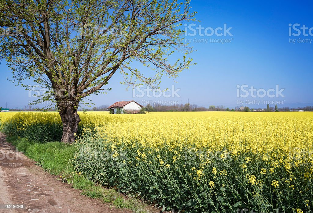 Blooming Rape Field With Hut And Tree stock photo