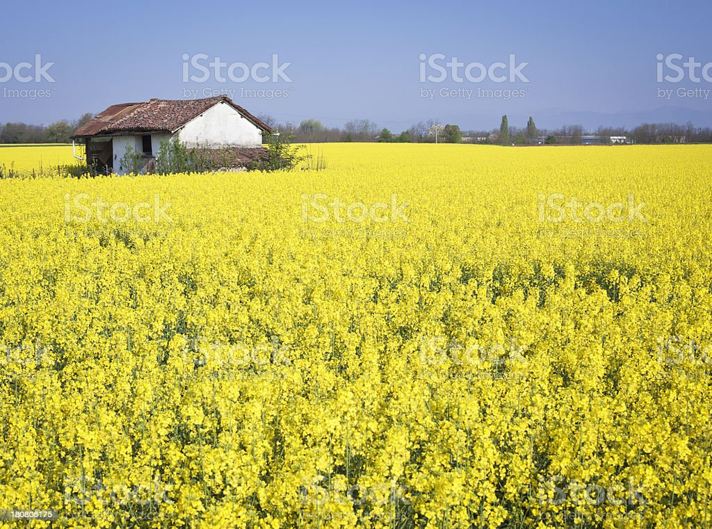Blooming Rape Field With Hut royalty-free stock photo