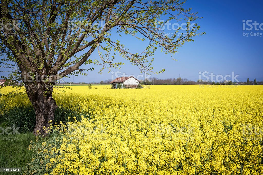 Blooming Rape Field With Hut stock photo