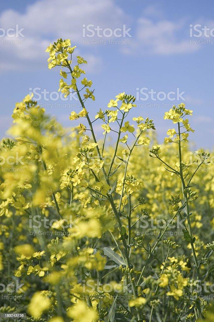 blooming rape royalty-free stock photo