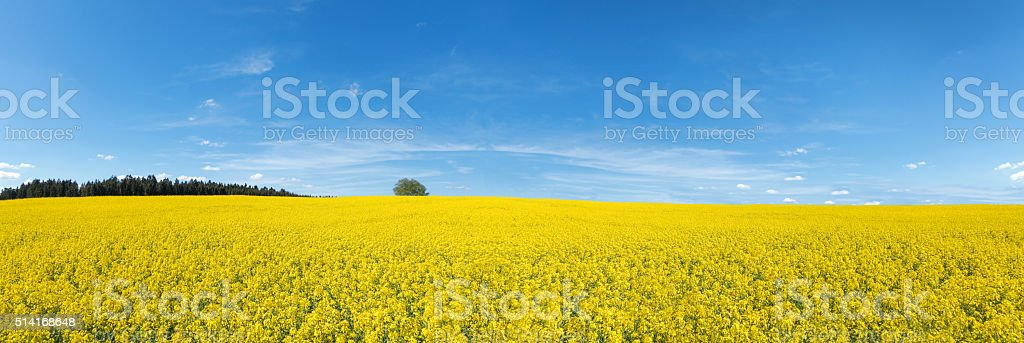 Blooming rapeseed field panorama stock photo